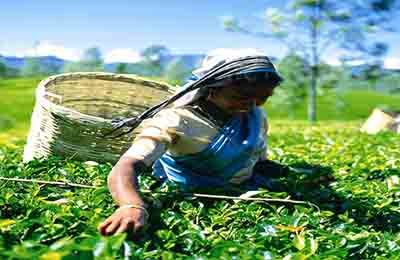 Tea Plantation Sri Lanka Tours